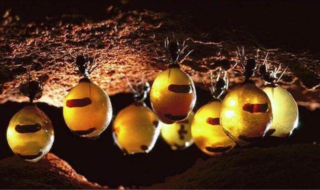 les fourmis pot de miel accumulent du miellat dans leur abdomen scmb images. Black Bedroom Furniture Sets. Home Design Ideas